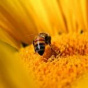 Пчелы оказались способны к дрессировке