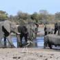 Массовую гибель слонов в Ботсване объяснили цианобактериями