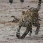 Индианке удалось голыми руками отбиться отразъяренного леопарда