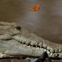 В Уганде крокодил напал набраконьера иутащил вводу