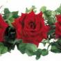 Как запах роз влияет на память (ФОТО)