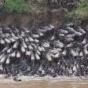 Уникальную экосистему реки Мара ежегодно питают тысячи утонувших антилоп (ФОТО)