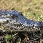 В Индонезии крокодил растерзал ребенка на глазах друзей