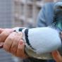 Голубь преодолел 13 тысяч км из США до Австралии, его хотят усыпить
