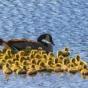 Потрясающая гусыня-няня подменяет родителей 51 гусенка (ФОТО)