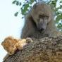 Павиан заботится о львенке (ФОТО)